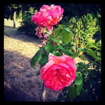 rosesinstagramxpost